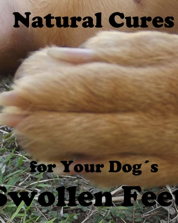 dog-swollen-feet-and-natural-cures