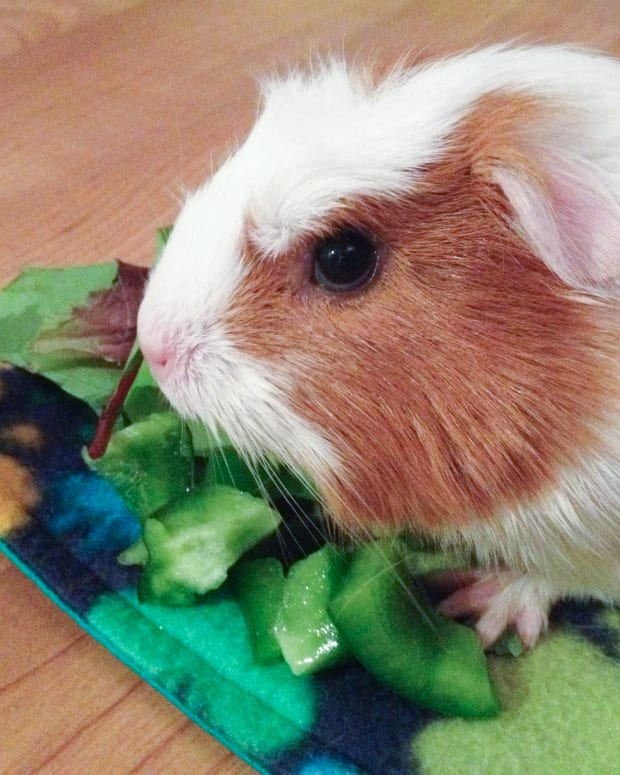 10-things-you-need-to-get-before-adopting-a-guinea-pig