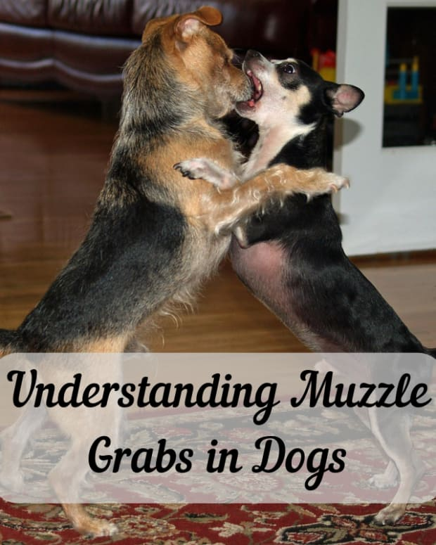 understanding-muzzle-grabs-in-dogs
