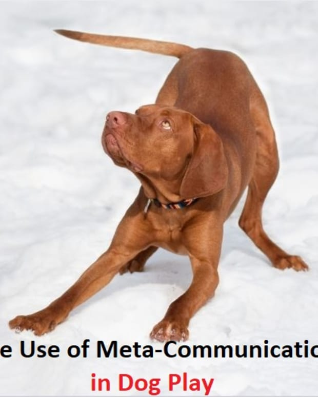 the-use-of-meta-communication-in-dog-play