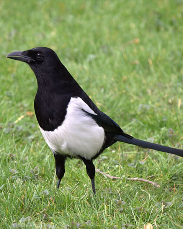 garden-birds-are-magpies-really-bad