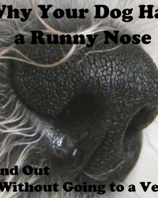 dog-runny-nose