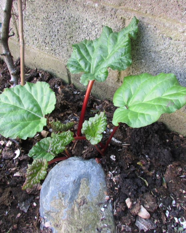 -how-to-grow-rhubarb-in-a-small-garden-plant-planting-growing-gardening-plants-recipe-pie-crumble-when