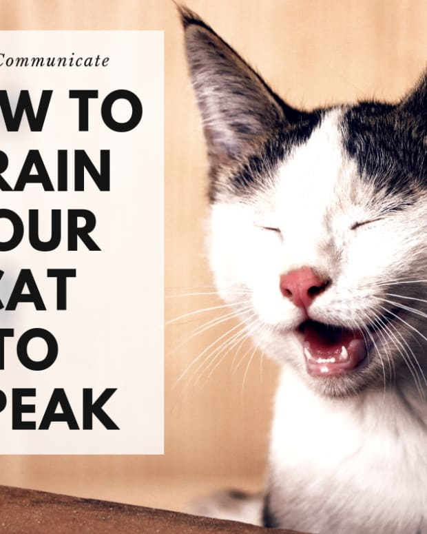 cat-training-how-to-teach-your-cat-to-talk