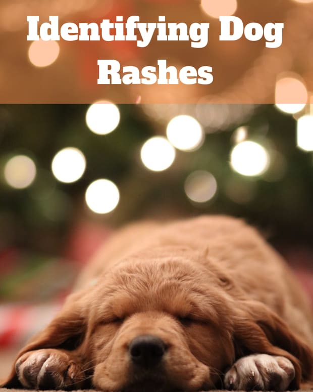 can-dogs-get-chicken-pox-the-possible-causes-of-your-dogs-rashes