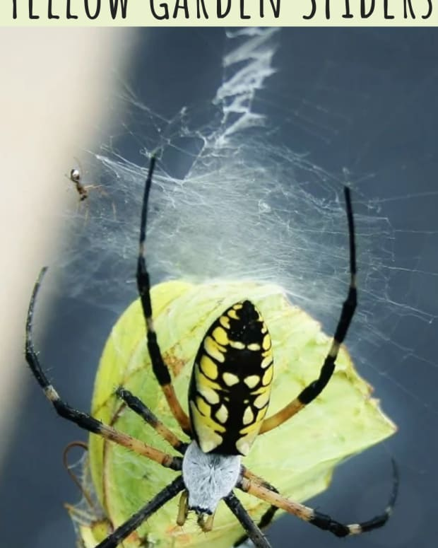 yellow-garden-spider