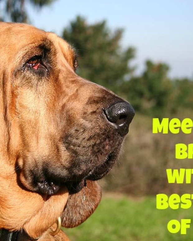meet-the-10-dog-breeds-with-the-best-sense-of-smell