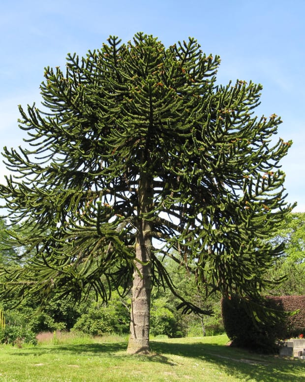 the-monkey-puzzle-tree-an-ancient-and-endangered-plant