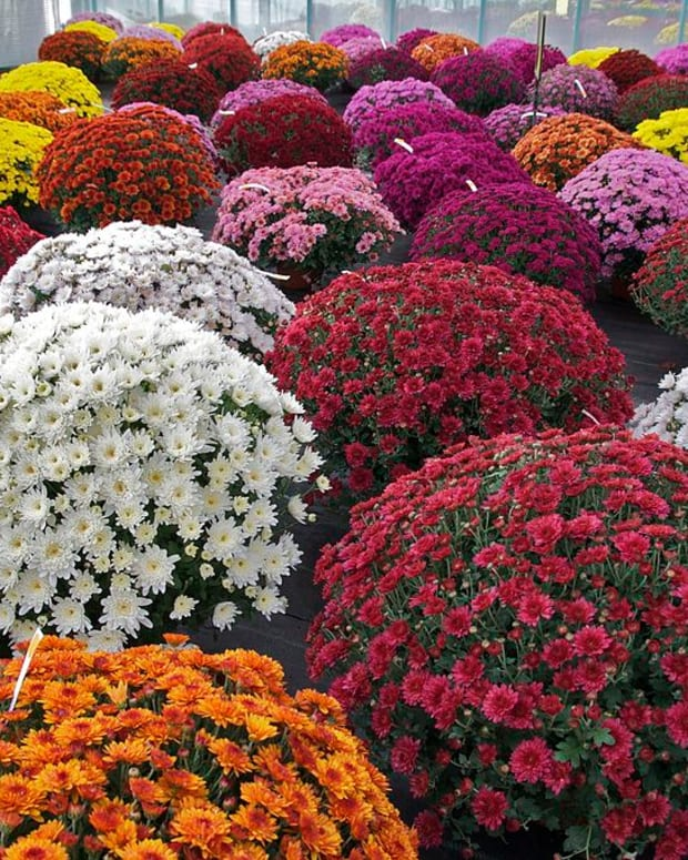 fall-color-chrysanthemums