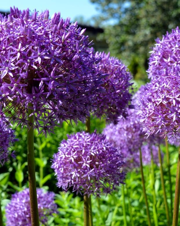 fall-planted-bulbs-allium