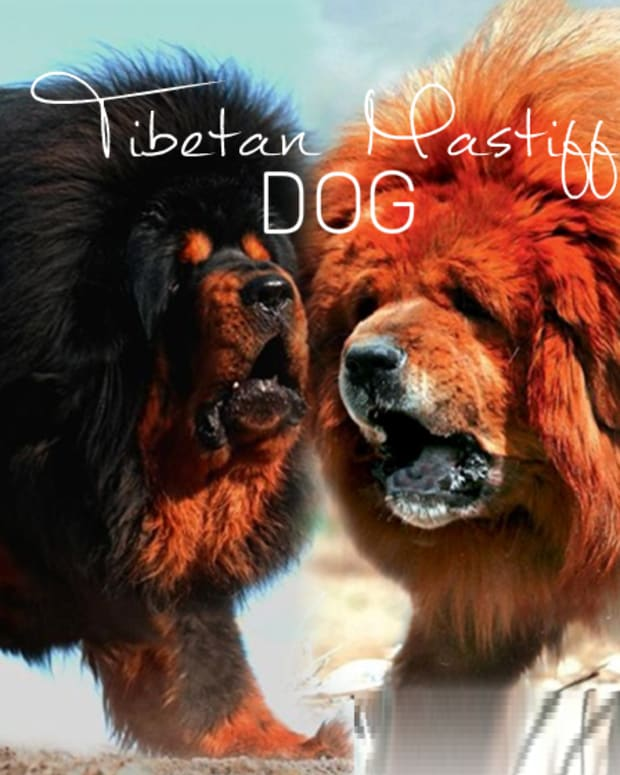 dogs-like-tibetan-mastiff