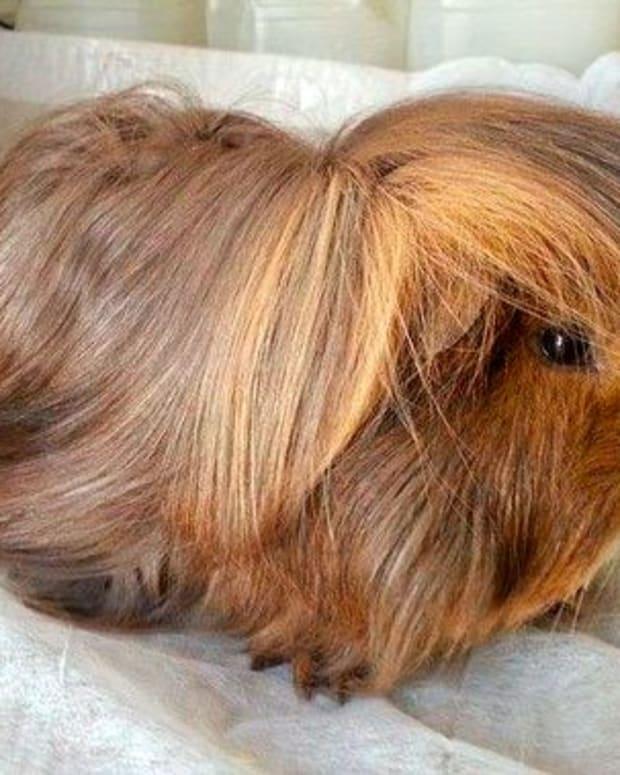 peruvian-guinea-pig-care
