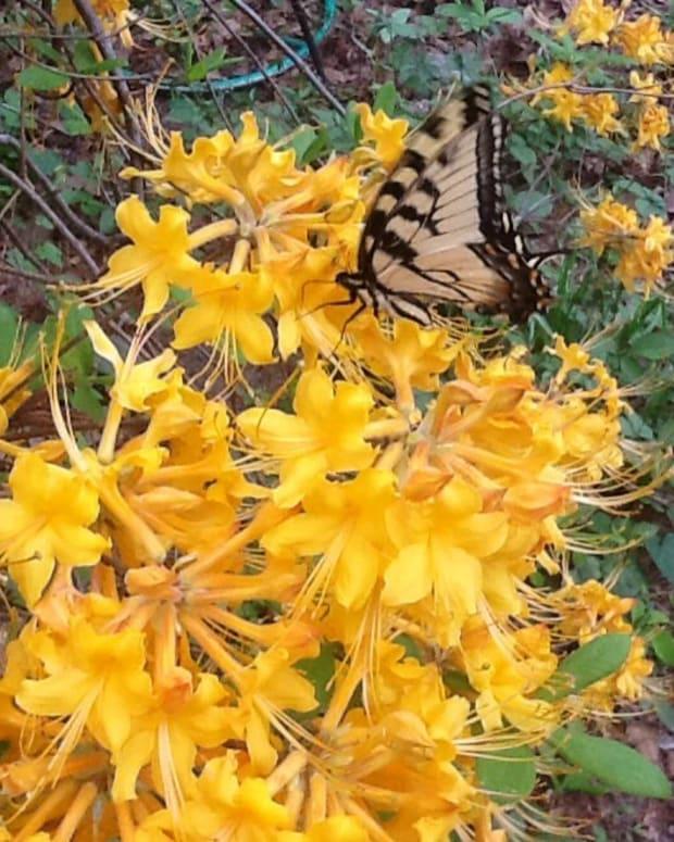 native-azaleas
