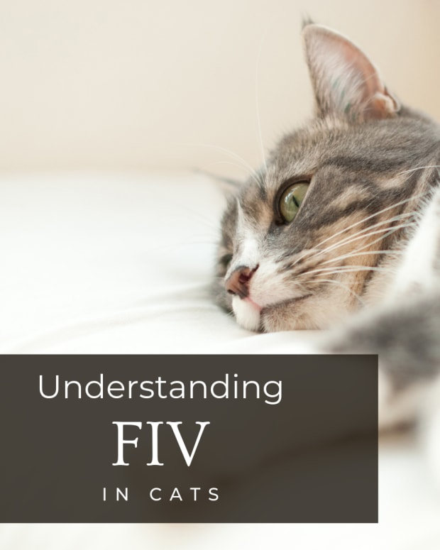 feline-immunodeficiency-virus-fiv-in-cats