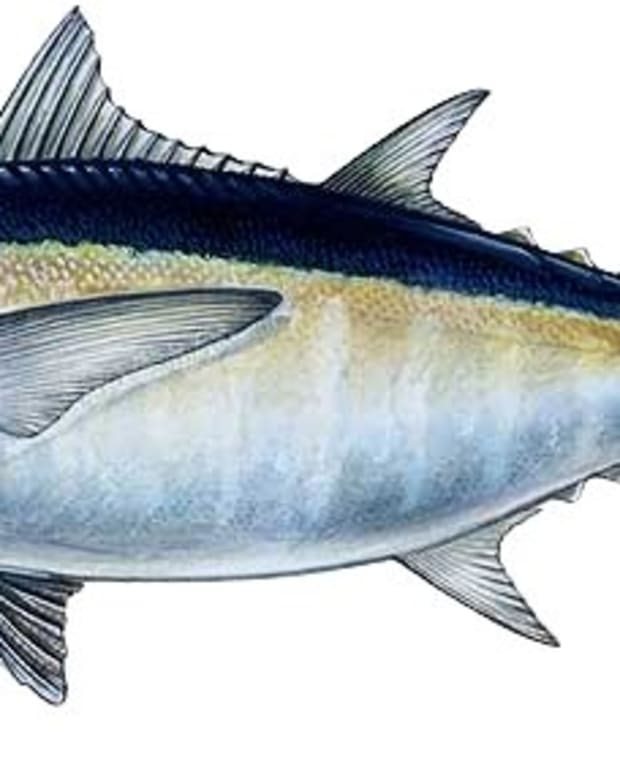 blackfin-tuna-fishing-tips-and-techniques
