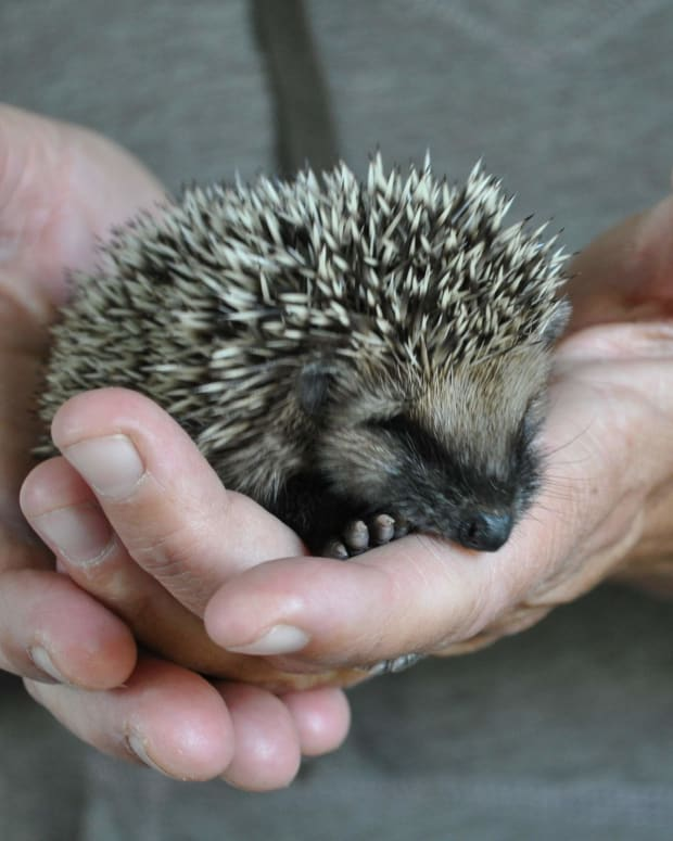 raising-hedgehogs