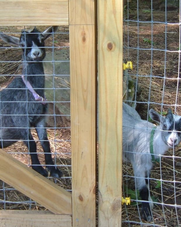pet-pygmy-goats