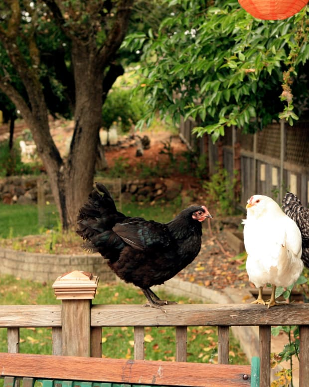 backyard-chicken-diseases