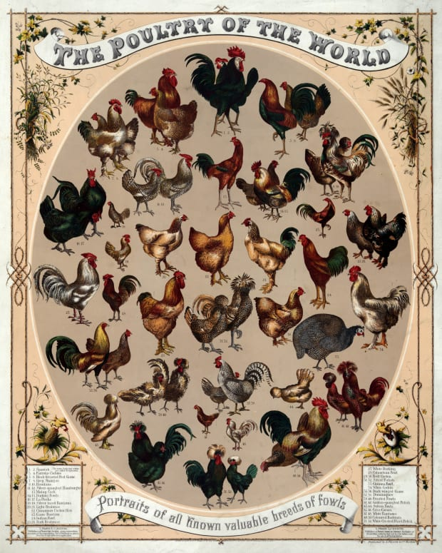 backyard-chicken-breeds