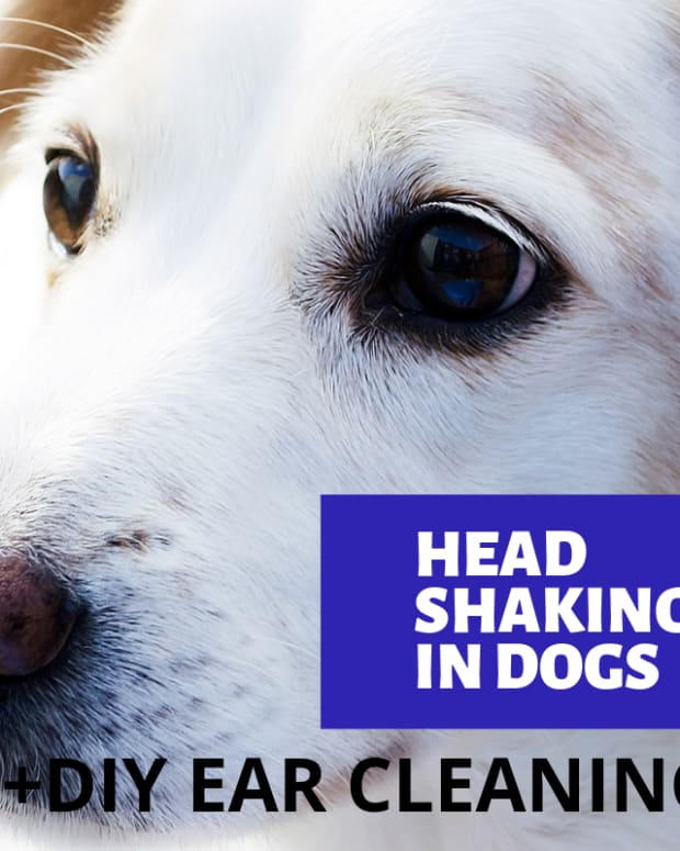dog-shaking-head-2