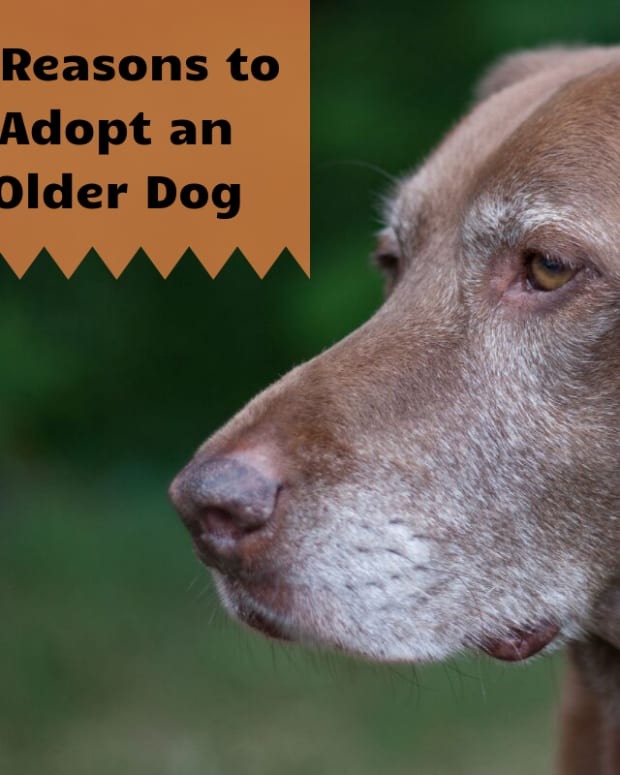5-reasons-to-adopt-an-older-dog
