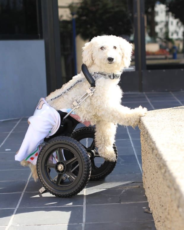 if-my-dog-has-canine-intervertebral-disc-disease-will-he-become-paralyzed