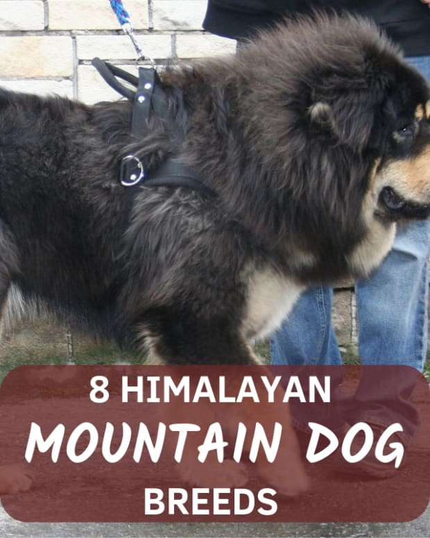most-dangerous-nepali-dogs