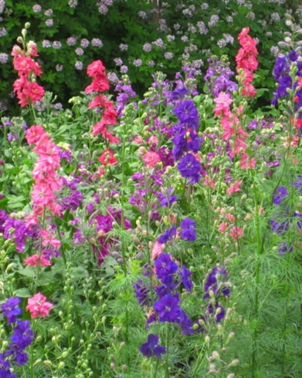 cottage-garden-favorites-larkspur