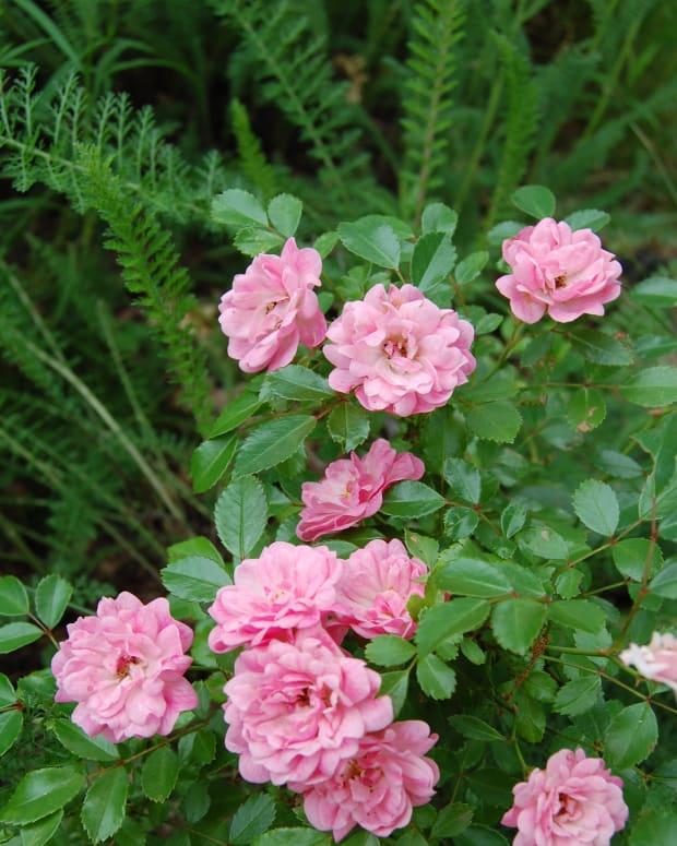 heirloom-roses-the-fairy