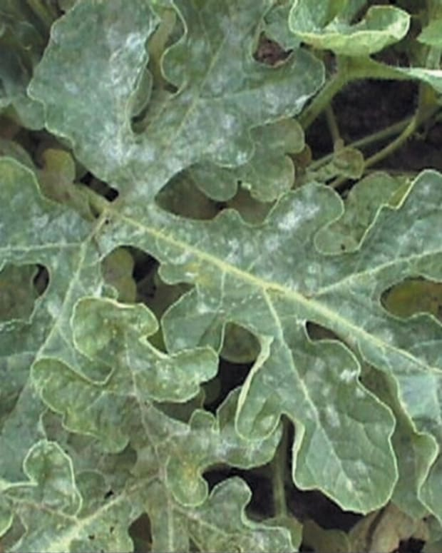how-to-rid-your-garden-of-powdery-mildew