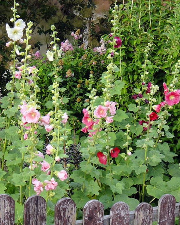 cottage-garden-favorites-hollyhocks