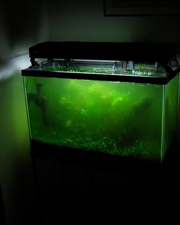 freshwater-algae-eater-fish