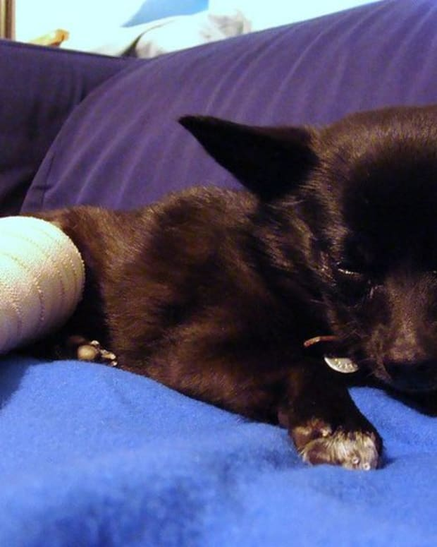 symptoms-treatment-and-advice-for-broken-bones-in-dog