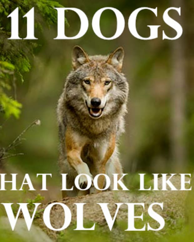 11-dogs-similar-to-wolf