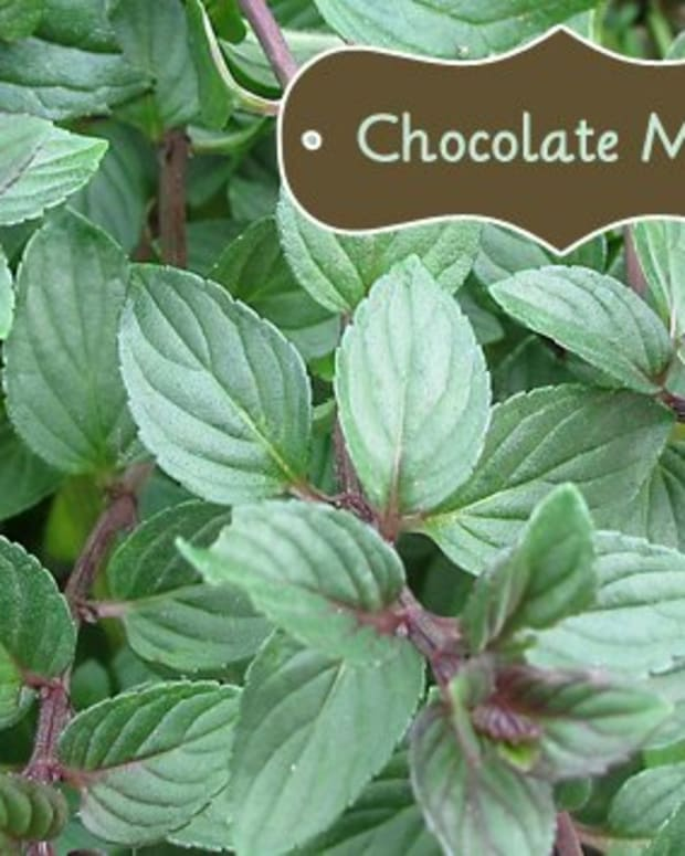 you-have-a-chocolate-mint-plant-what-now