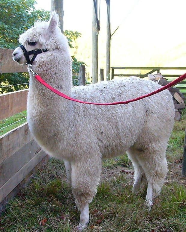 alpaca-fiber-llama-fiber-sheep-fiber-or-wool-how-are-they-different
