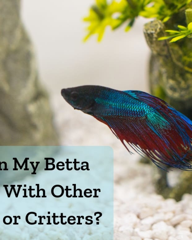 tankmates-for-bettas-and-betta-fish-in-a-community-tank