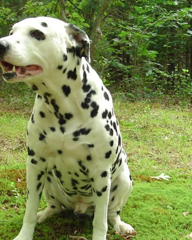 understanding-dalmatian-urinary-problems