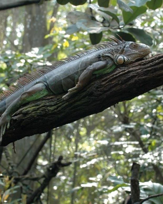 iguana-cages
