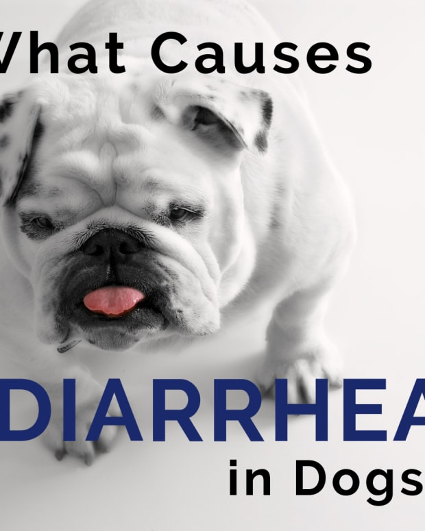 dog-diarrhea