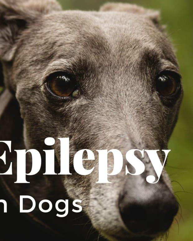 greyhound-epilepsy-seizures