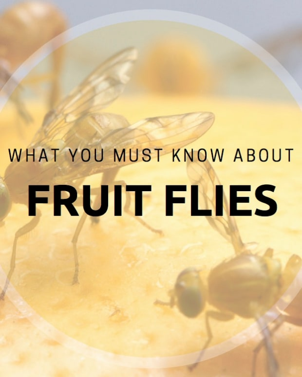 fruit_flies