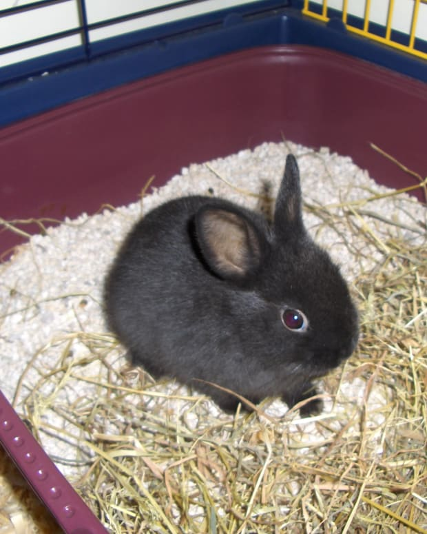 dwarf-rabbit-care