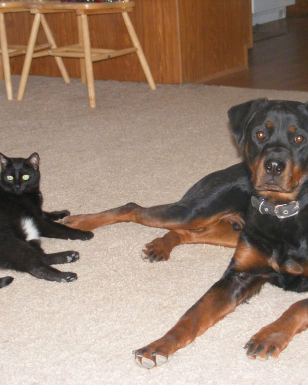 dog-breeds-that-do-not-get-along-with-cats