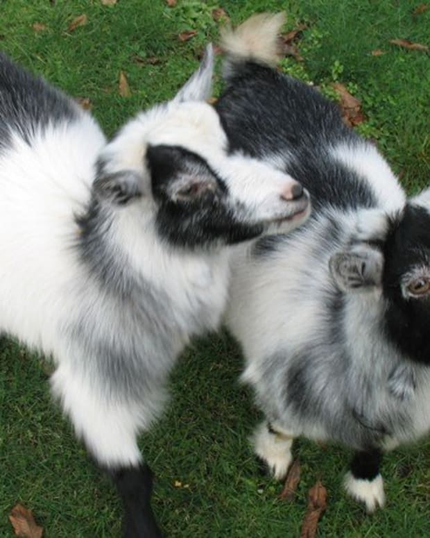 do_pygmy_goats_make_good_pets