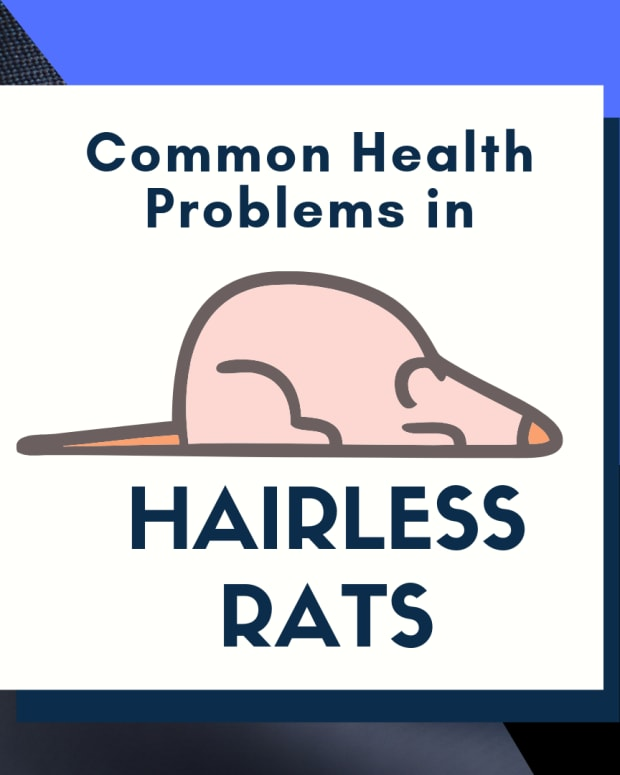 common-furless-rat-health-problems