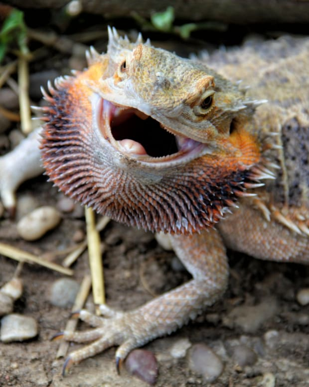 beginners-guide-keeping-bearded-dragon