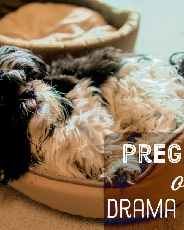 signs-your-dog-is-pregnant