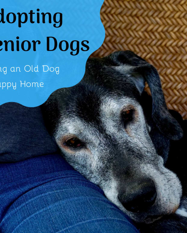 senior-dog-rescue-adopting-an-older-dog