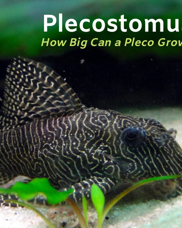 how_big_does_a_plecostomus_get